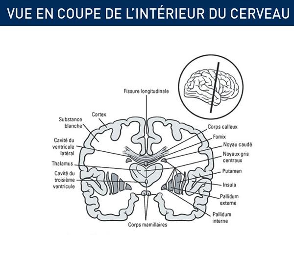 cerveau vu intérieur