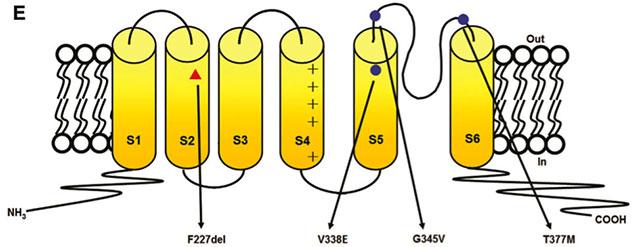 Position des mutations identifiées dans le canal potassium KCND3 localisé dans la membrane cellulaire.