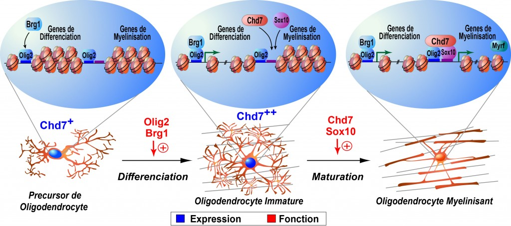 Chd7_chromatin_model_He_paper_2016_fr