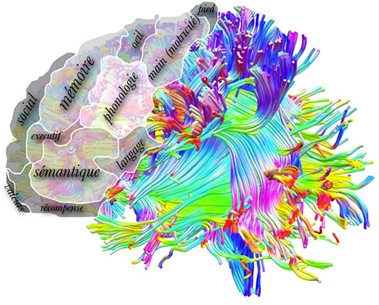 Recent advancies in mapping cerebral connections in the human brain allows to segment the frontal lobe in 12 functional sub regions. ©Michel Thiebaut de Schotten.