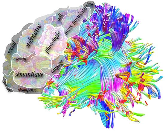 Des développements récents dans l'imagerie des connexions cérébrales chez l'être humain vivant permettent de diviser le lobe frontal en 12 sous-régions fonctionnelles. ©Michel Thiebaut de Schotten.