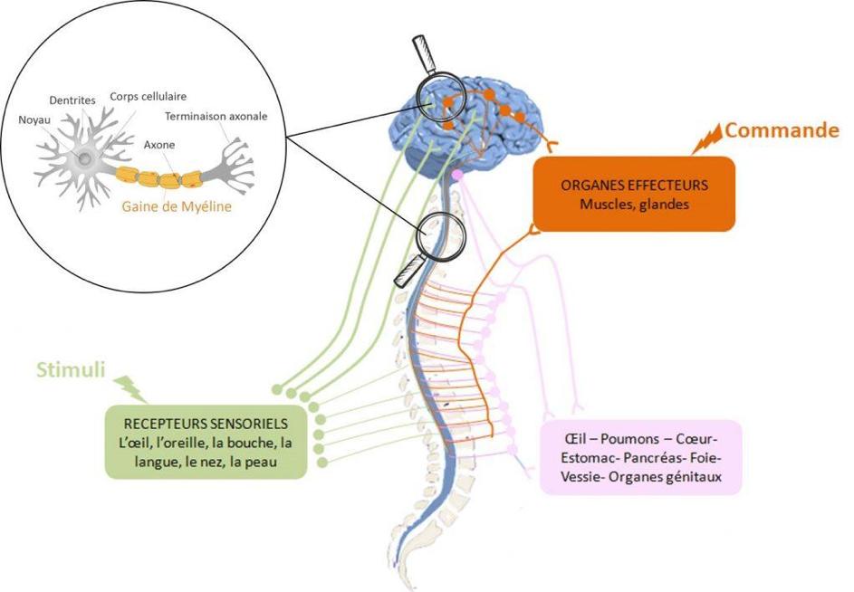 systeme nerveaux sclérose en plaques