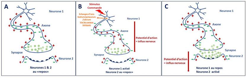 neurotransmetteurs