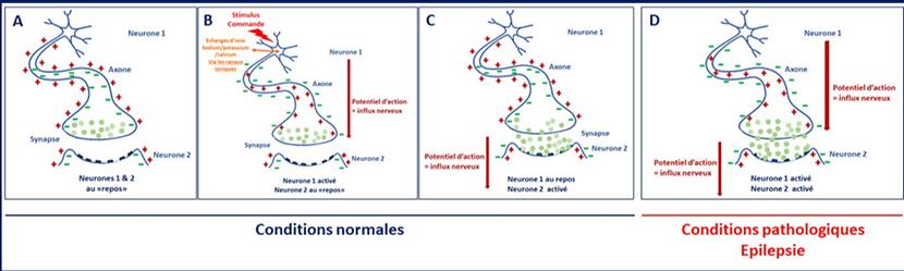 mécanismes biologiques épilepsie