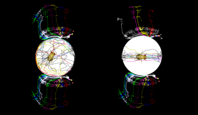 Flies with left-right asymmetry in the wiring of a specific neuronal circuit tend to walk more straight and narrow paths towards an object of interest, while flies with more symmetric brains tend to walk border and more meandering paths toward the object.