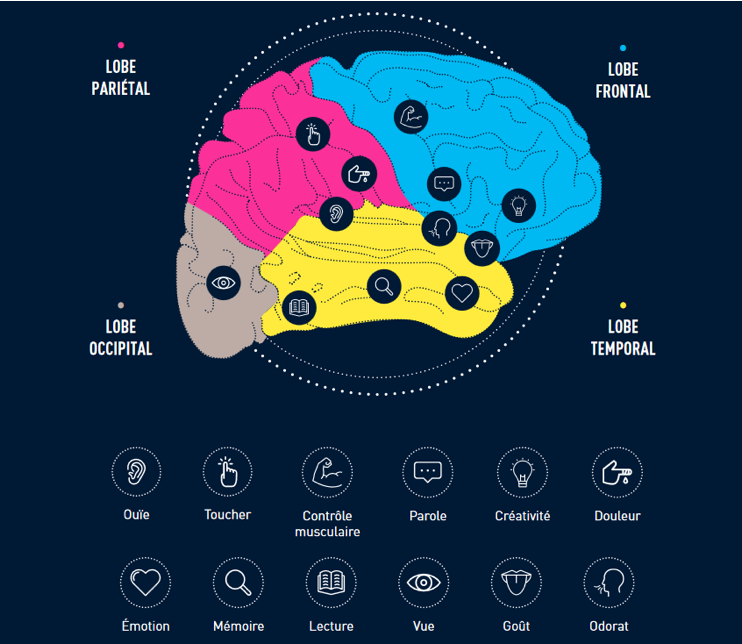 composition cerveau