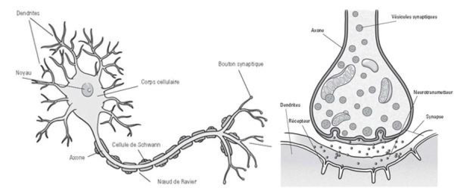 neurone et synapse