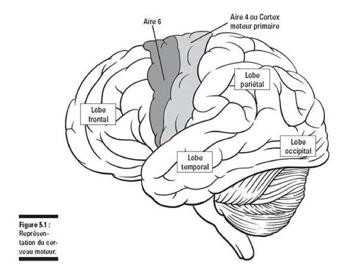 représentation cerveau moteur