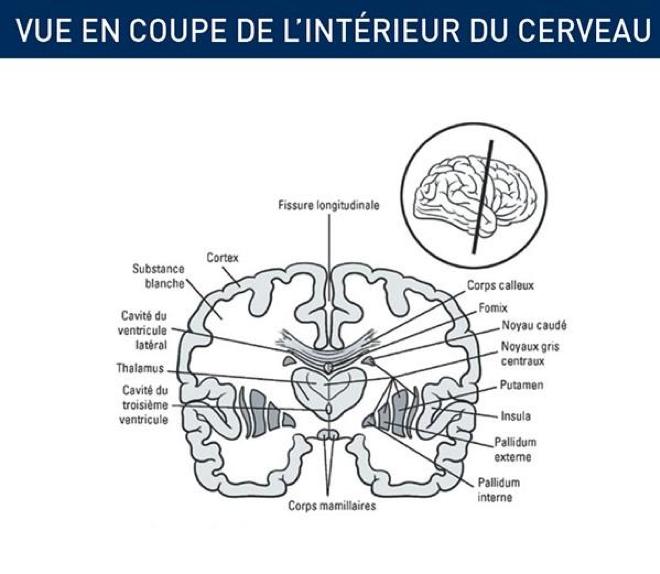 vue interieur cerveau