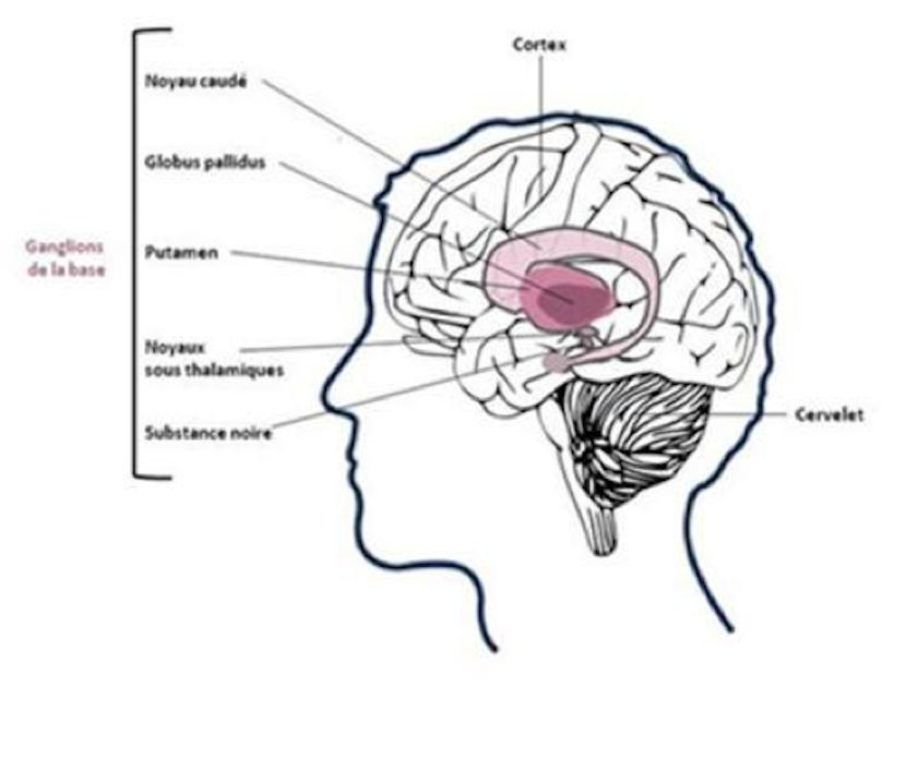 mécanismes biologiques dystonie