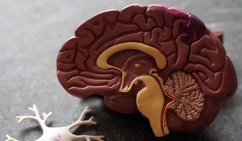 les bases cerebrales du dilemme exploitation-exploration