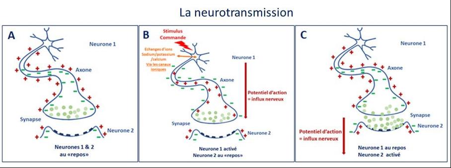 neurotransmission autisme