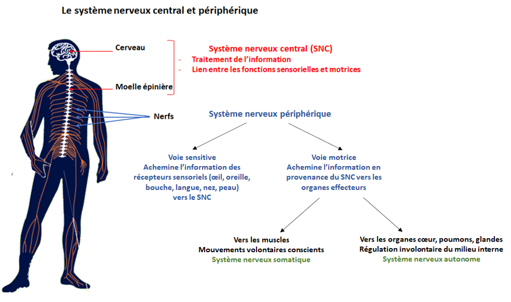 systeme nerveux centrale